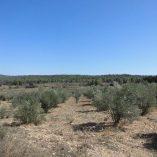 Masía rústica en venta en Mariola - Terreno olivos